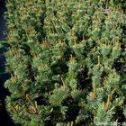Drzewka sosny ościstej (Pinus aristata) w doniczkach P14